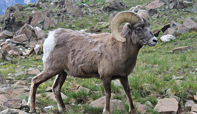 Photo of a bighorn sheep ram